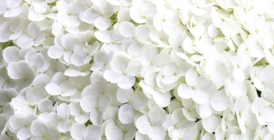 hydrangea, tiny flower petals, garden