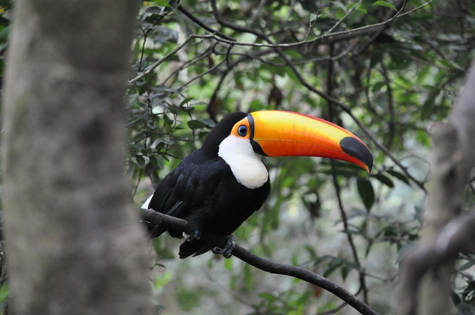 toucan, pet, tropical animals