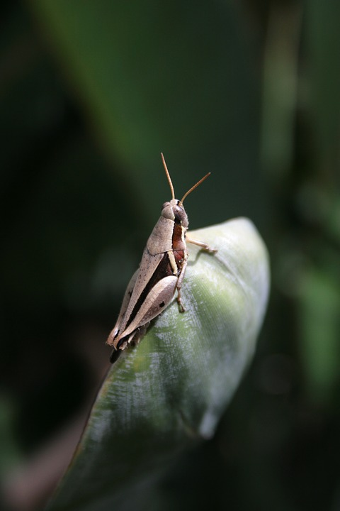 grasshopper, cricket, insect