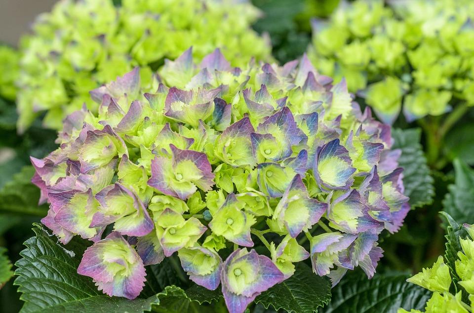hydrangea, neon, green