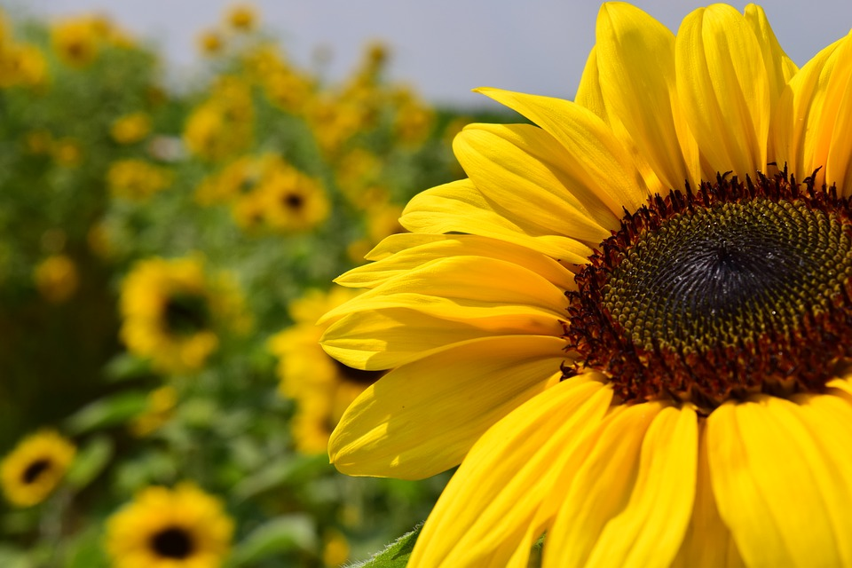 sunflower, sunflower field, yellow