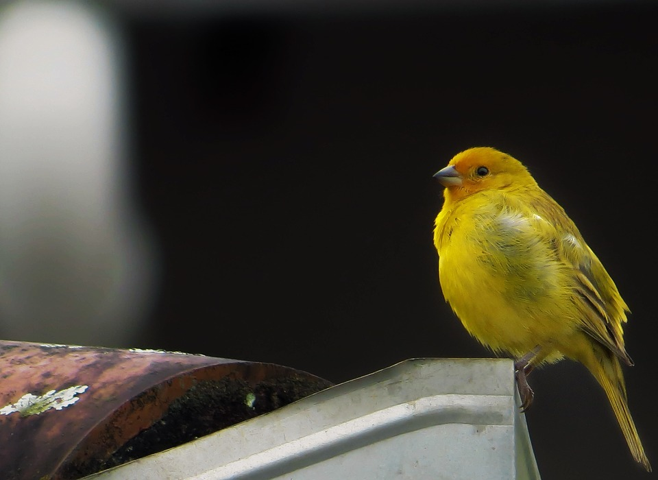 bird, yellow finch, tropical bird