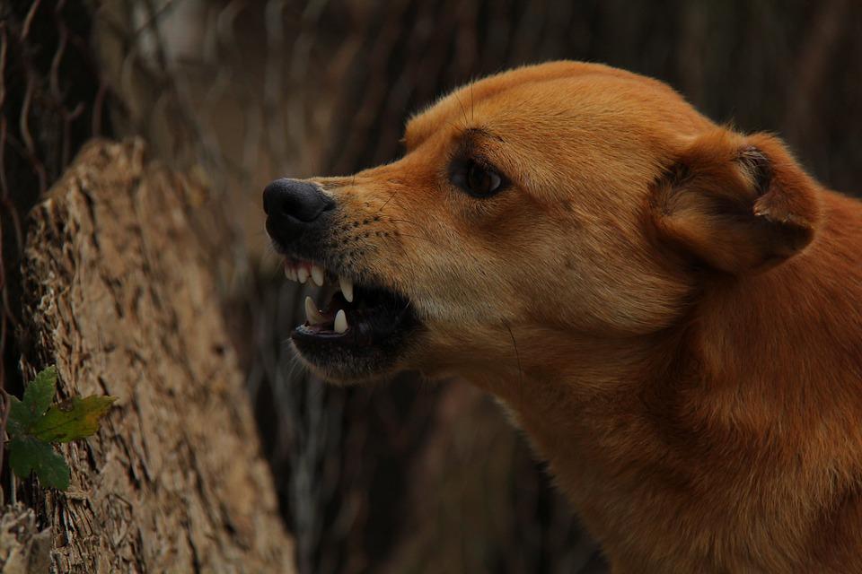 dog, angry, rage