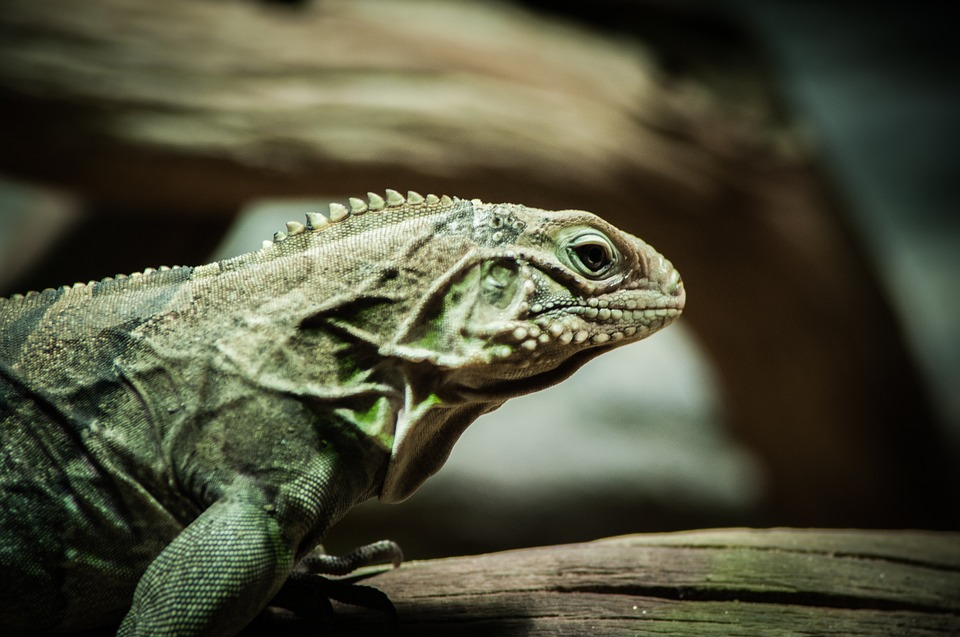 lizard, reptile, saurian