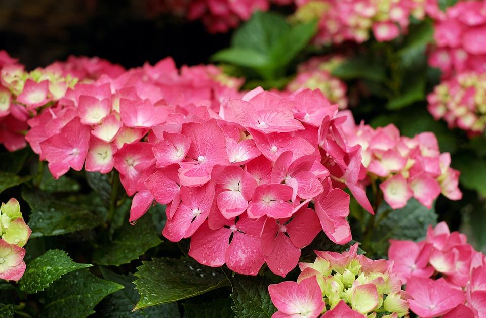 hydrangea, flowers, bloom
