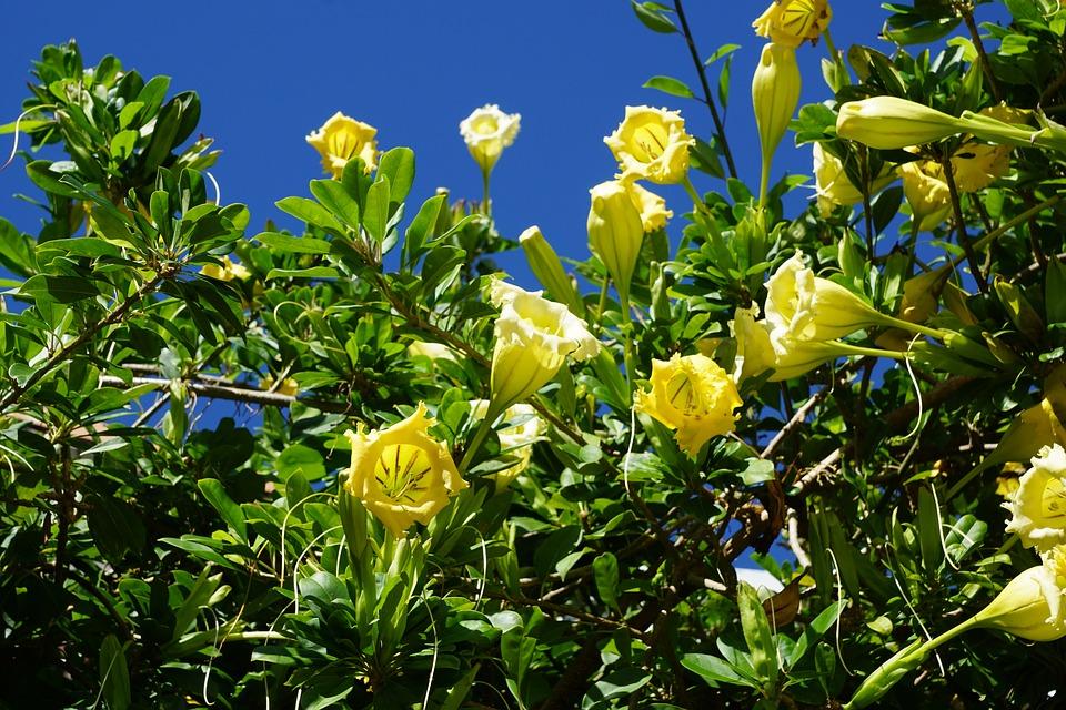 durman, flower, exotic
