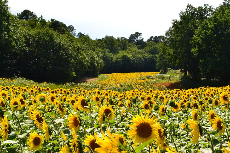 sunflowers, sunflower, field of sunflowers
