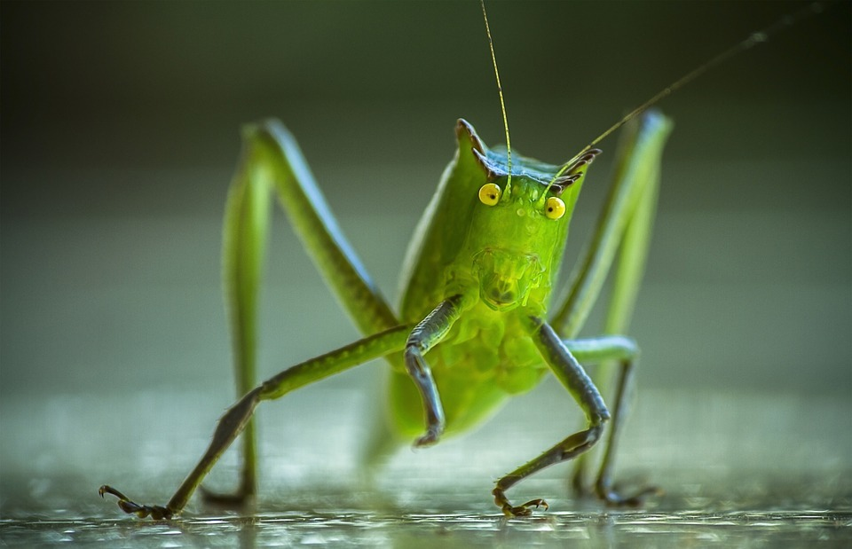 cricket, grasshopper, katydid
