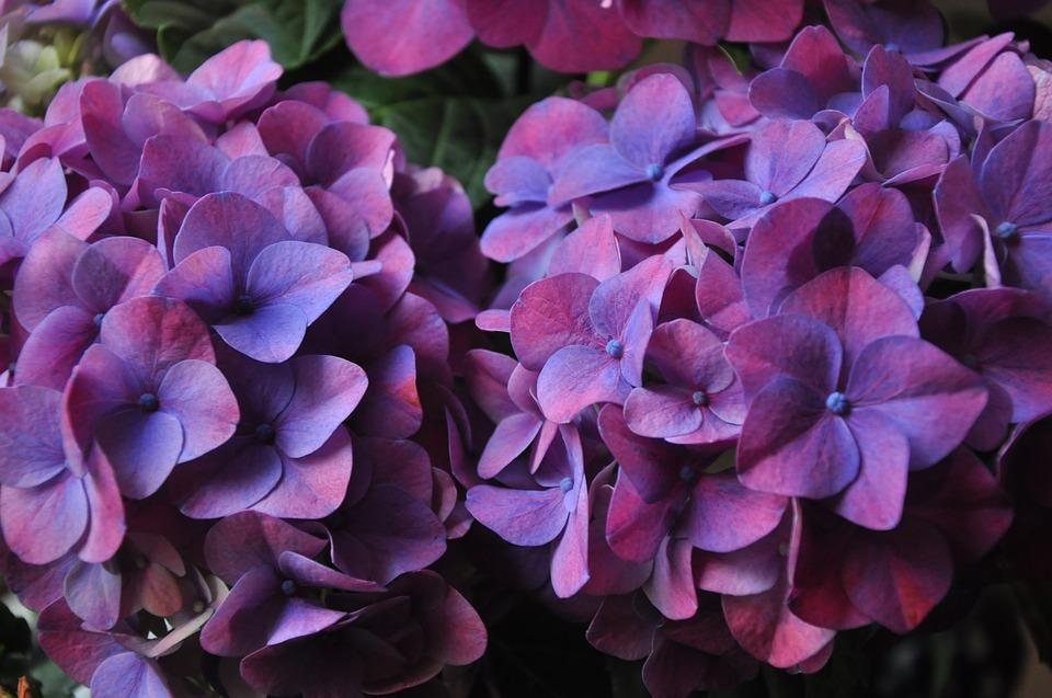 hydrangea, plant, violet