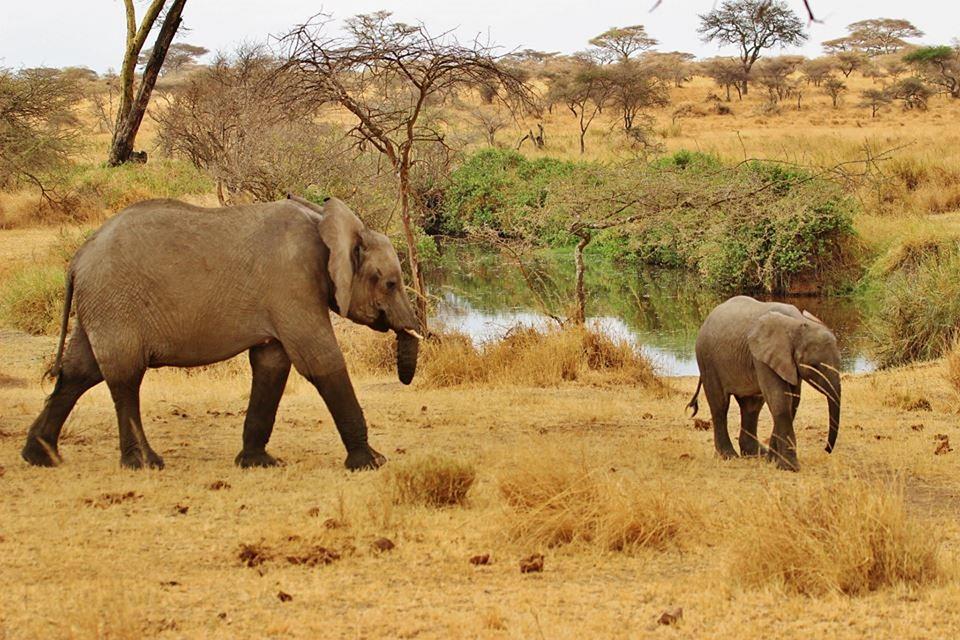 safari, elephant, tanzania