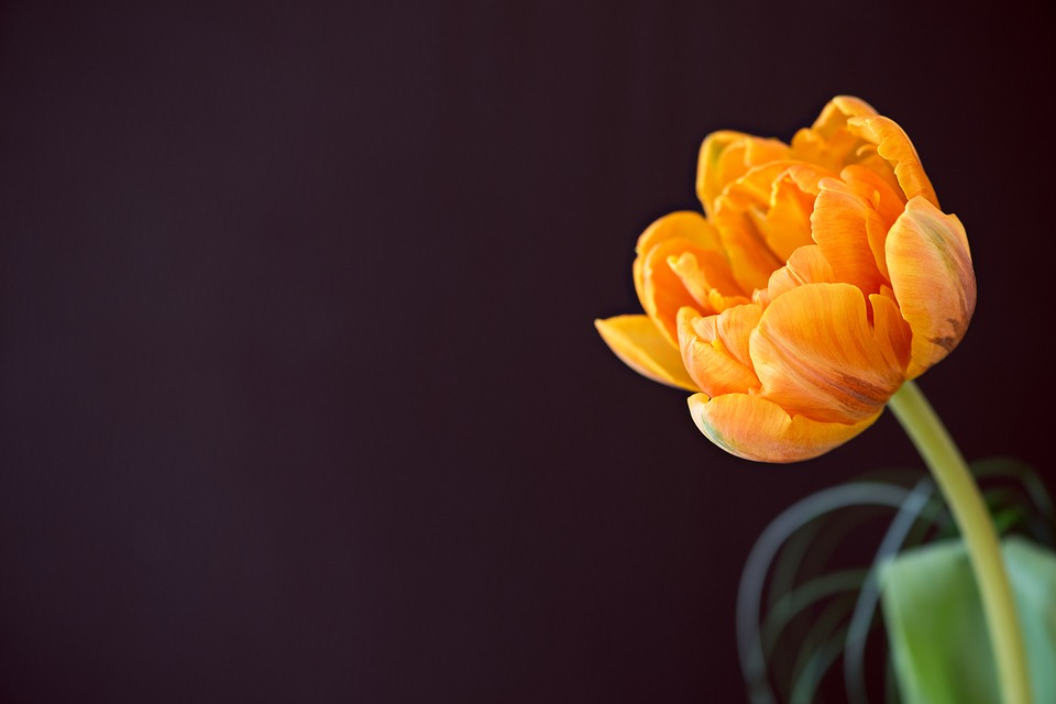 tulip, flower, schnittblume