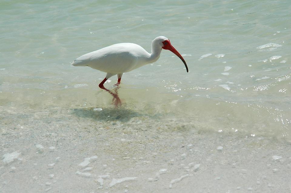 ibis, bird, tropical
