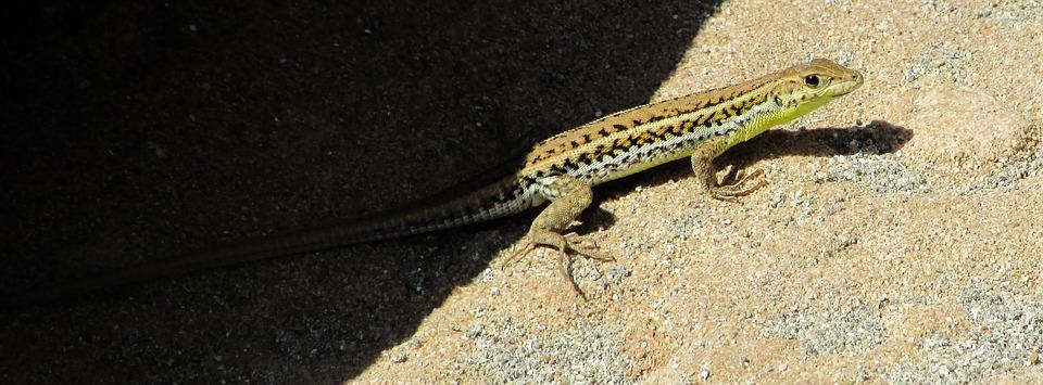 acanthodactylus schreiberi, lizard, reptile