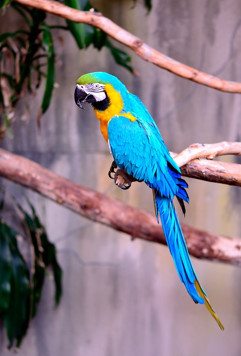 macaw, parrot, exotic