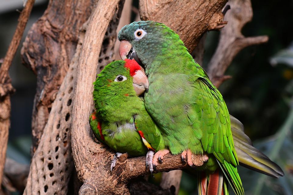parrot, parrots, green