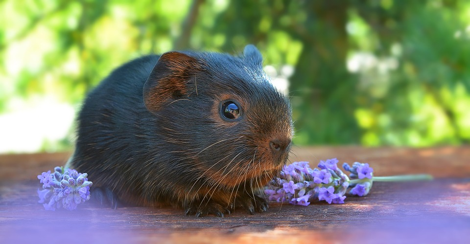 guinea pig, smooth hair, baby guinea pigs