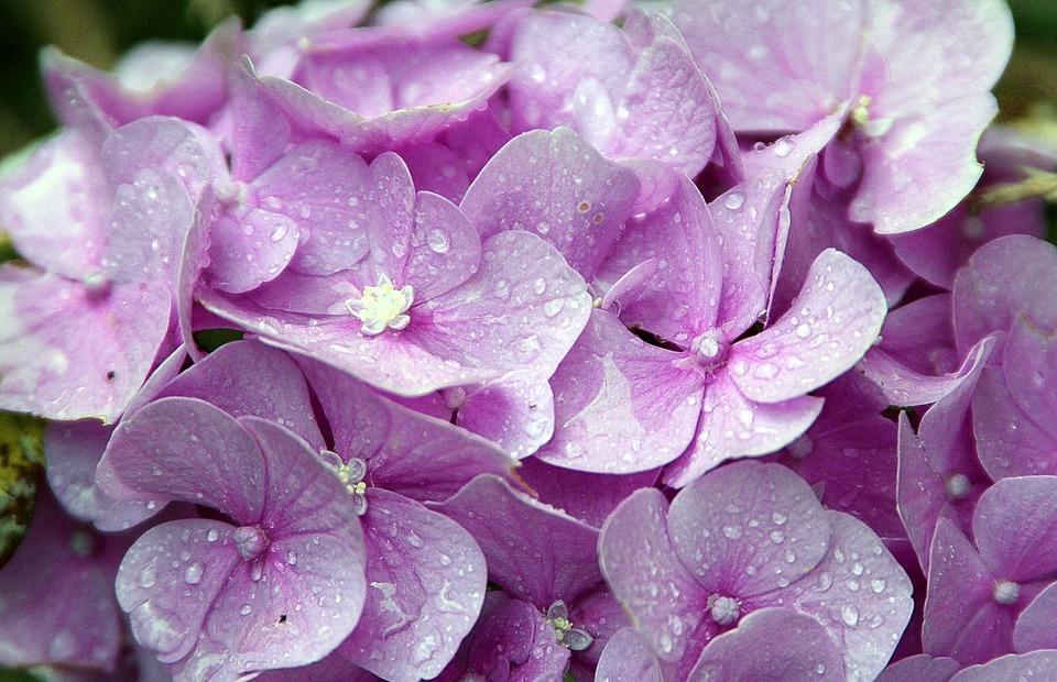 hydrangeas, hydrangea, genus