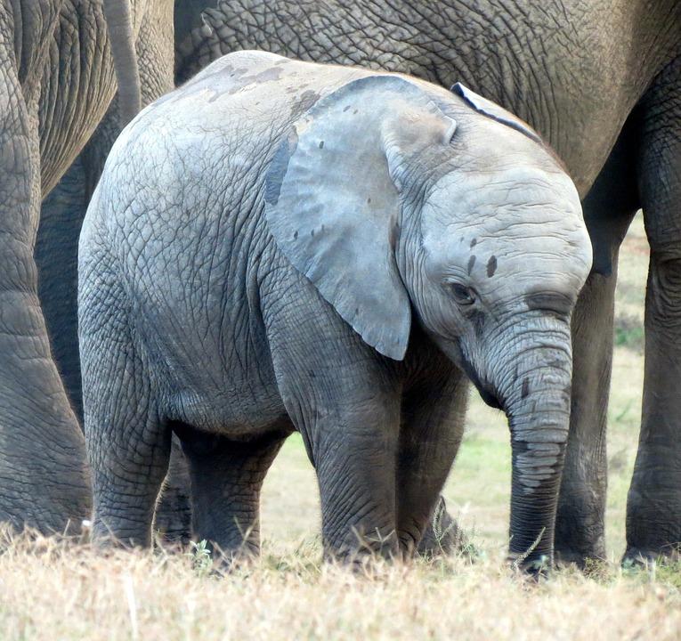 elephant, elephant baby, calf