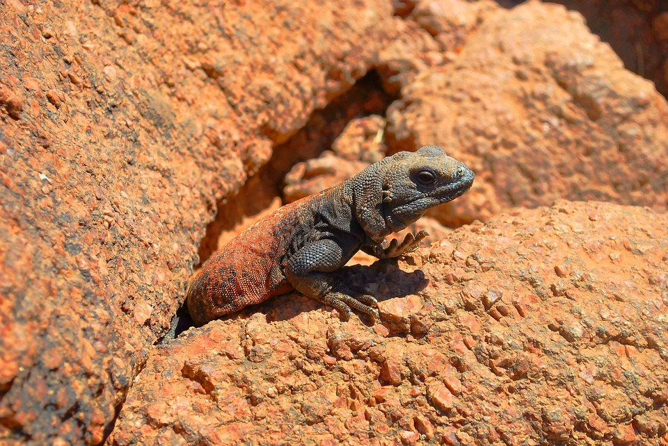 lizard, reptile, rock