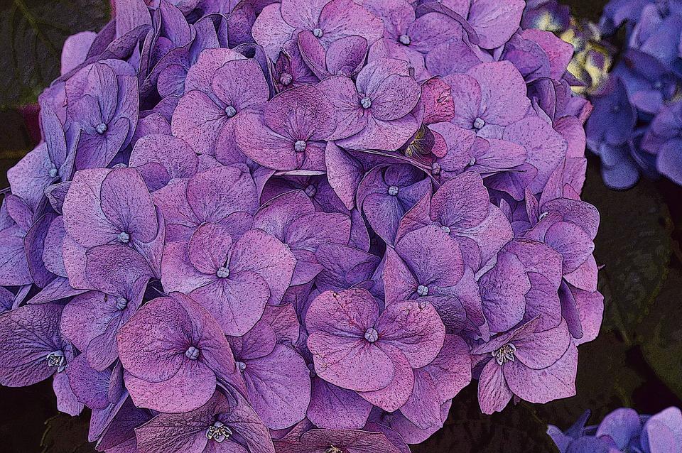 hydrangea, flower, pink
