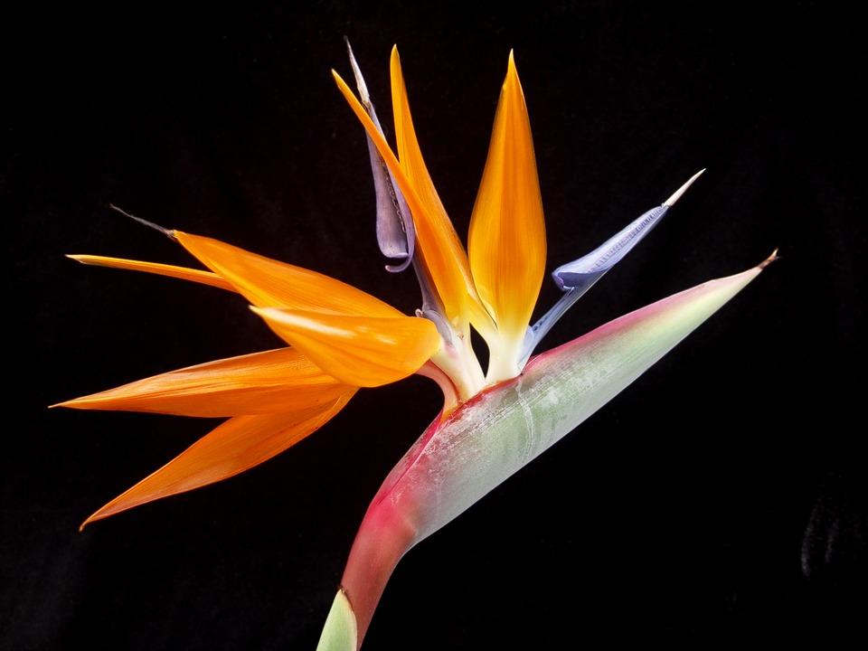 bird of paradise, flower, tropical