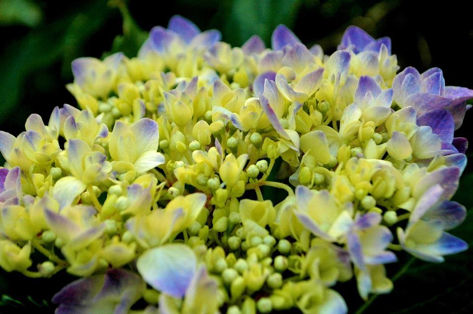 hydrangea, purple flowers, hydrangeas