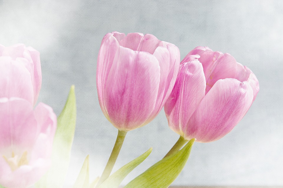 flowers, tulips, pink