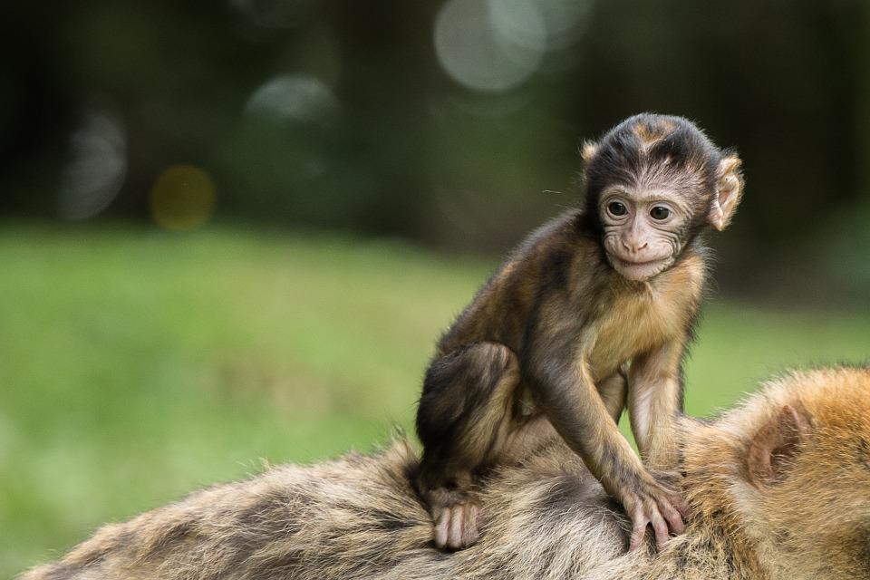 monkey, monkey baby, baby
