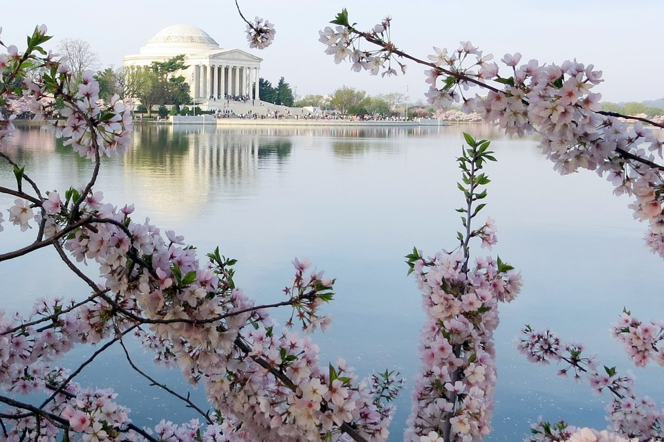cherry blossoms, jefferson memorial, washington