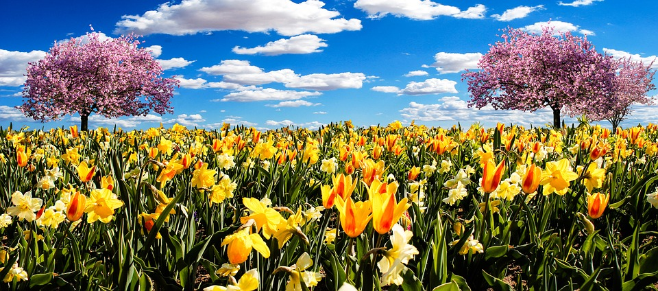 osterglocken, spring meadow, daffodils