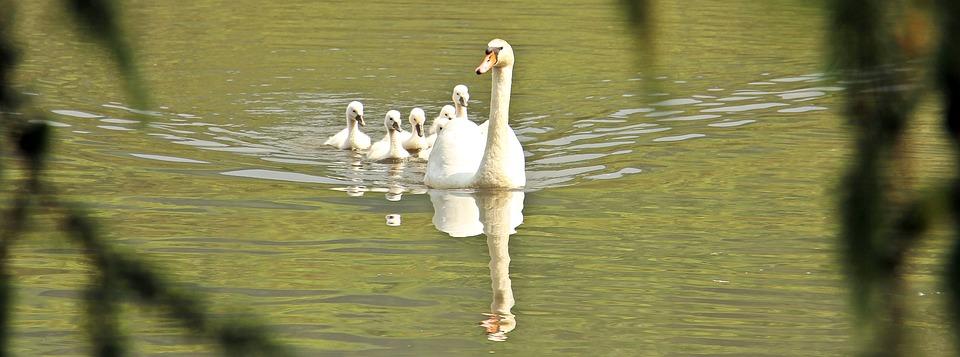 swan, swan family, baby swan