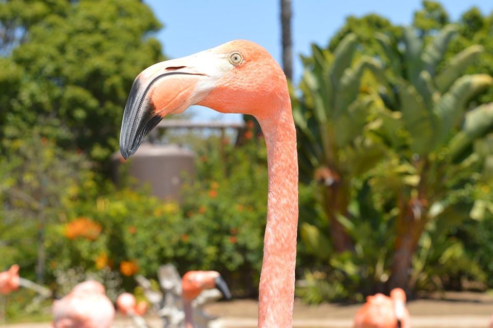 pink flamingo, flamingo, bird