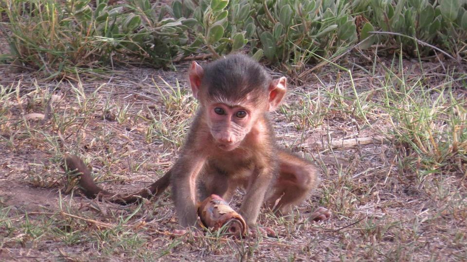 kenya, baby, baboon