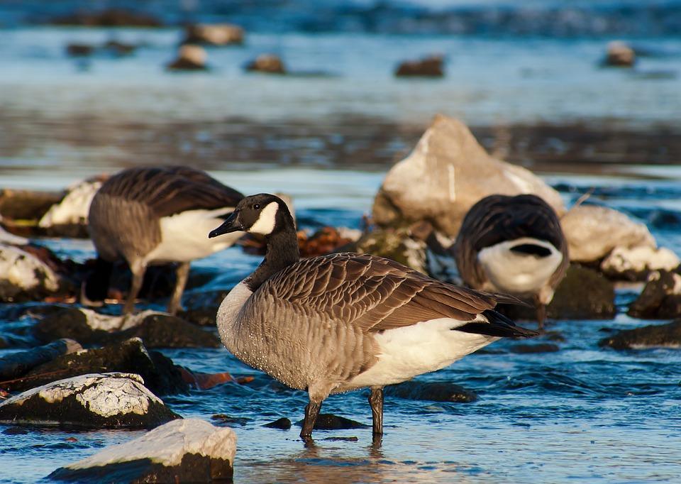 canada goose, birds, nature