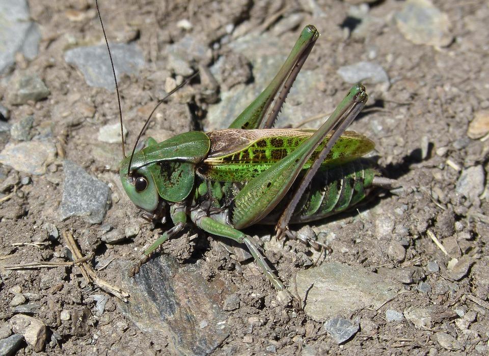 cricket, leptophyes punctatissima, pyrenees