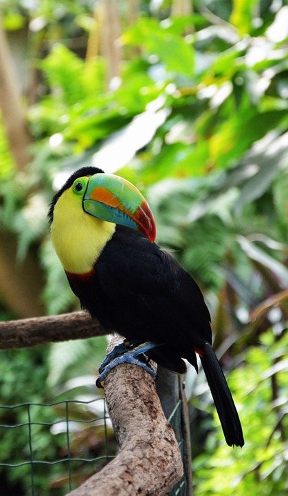 tucan, bird, tropical bird