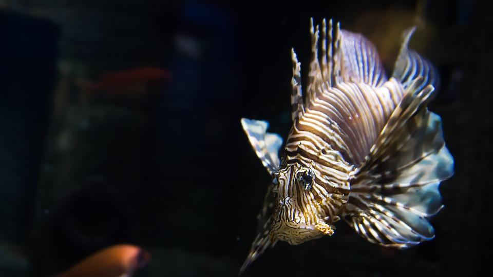 fish, lionfish, exotic