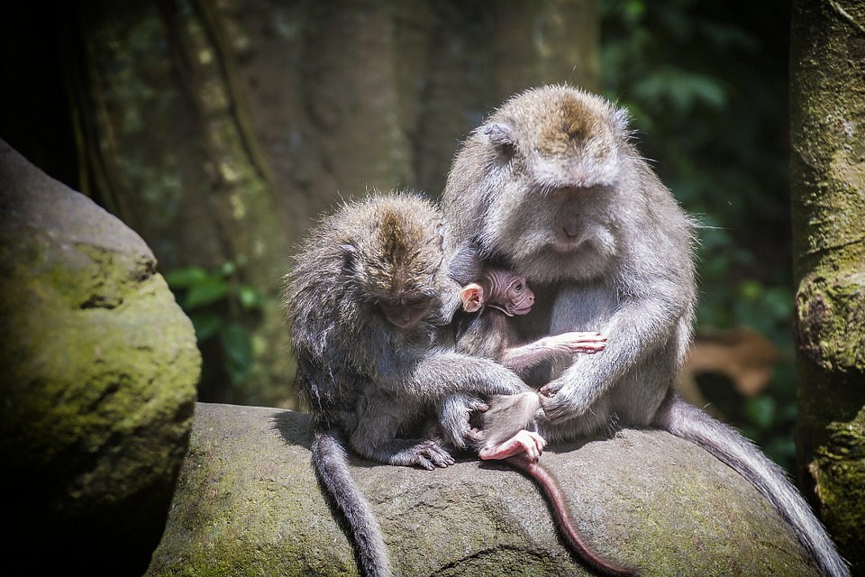 ape, monkey baby, monkey forest