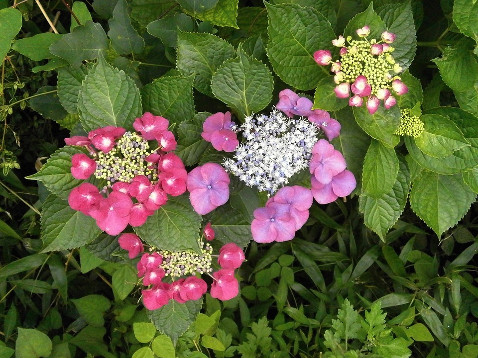 hydrangeas, hydrangea, purple flowers