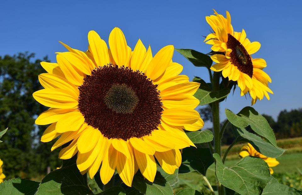 sunflower, sunflower field, yellow