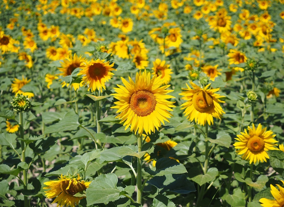 sunflower, sunflower field, helianthus annuus