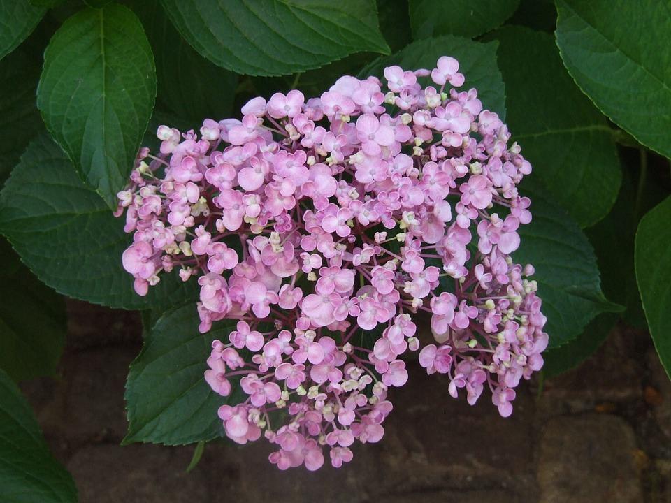 hydrangea, bauer hydrangea, flowers
