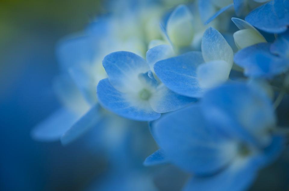 hydrangea, flower, bloom
