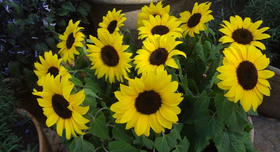 sunflower, sunflowers, sunflower vase