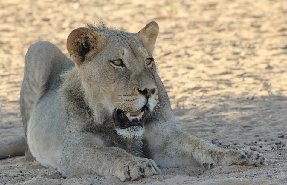 lion, young, africa