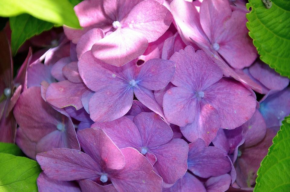 hydrangea, flower, flowers