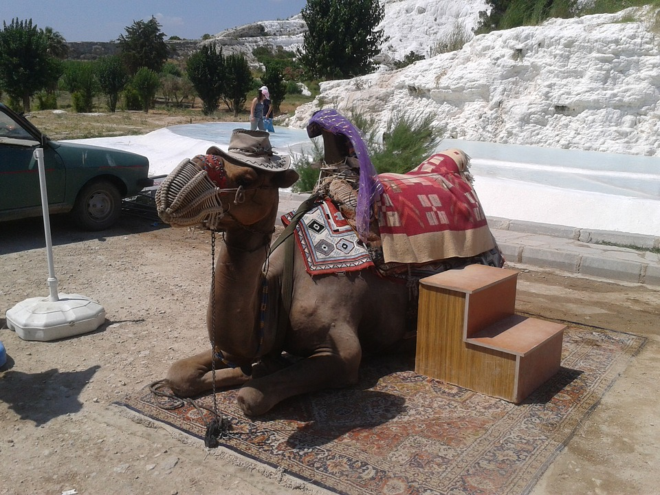 the camels, live, tourist attraction