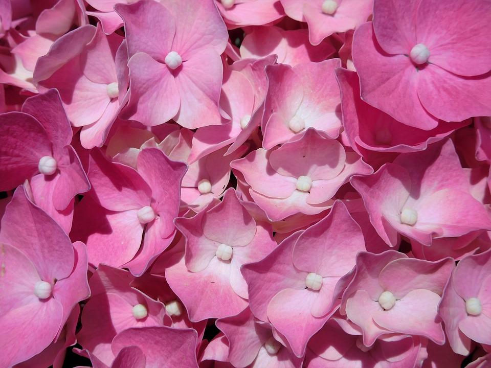 hydrangea, pink hydrangea, plant