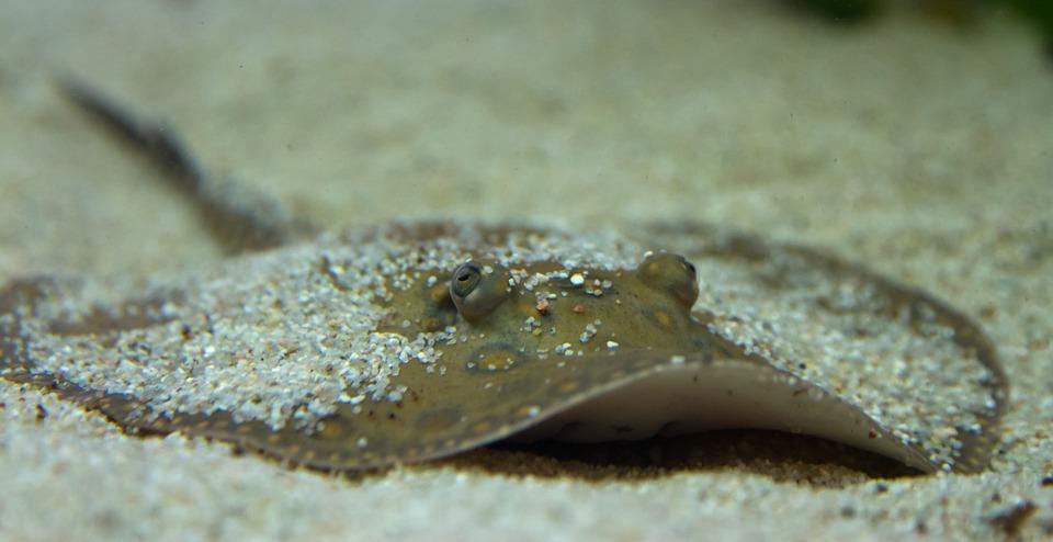 rays, animals, underwater
