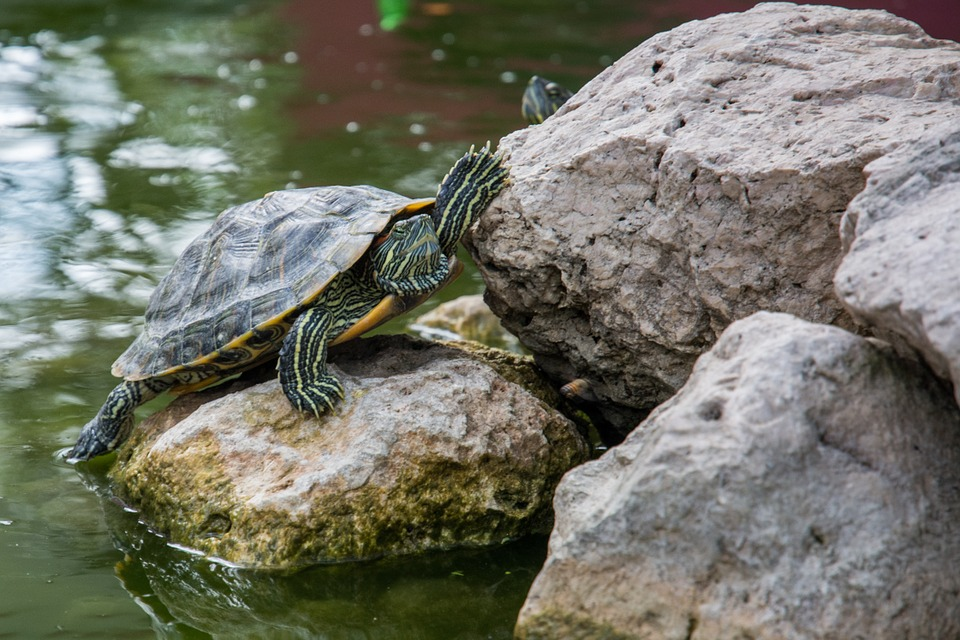 turtle, amphibian, reptile